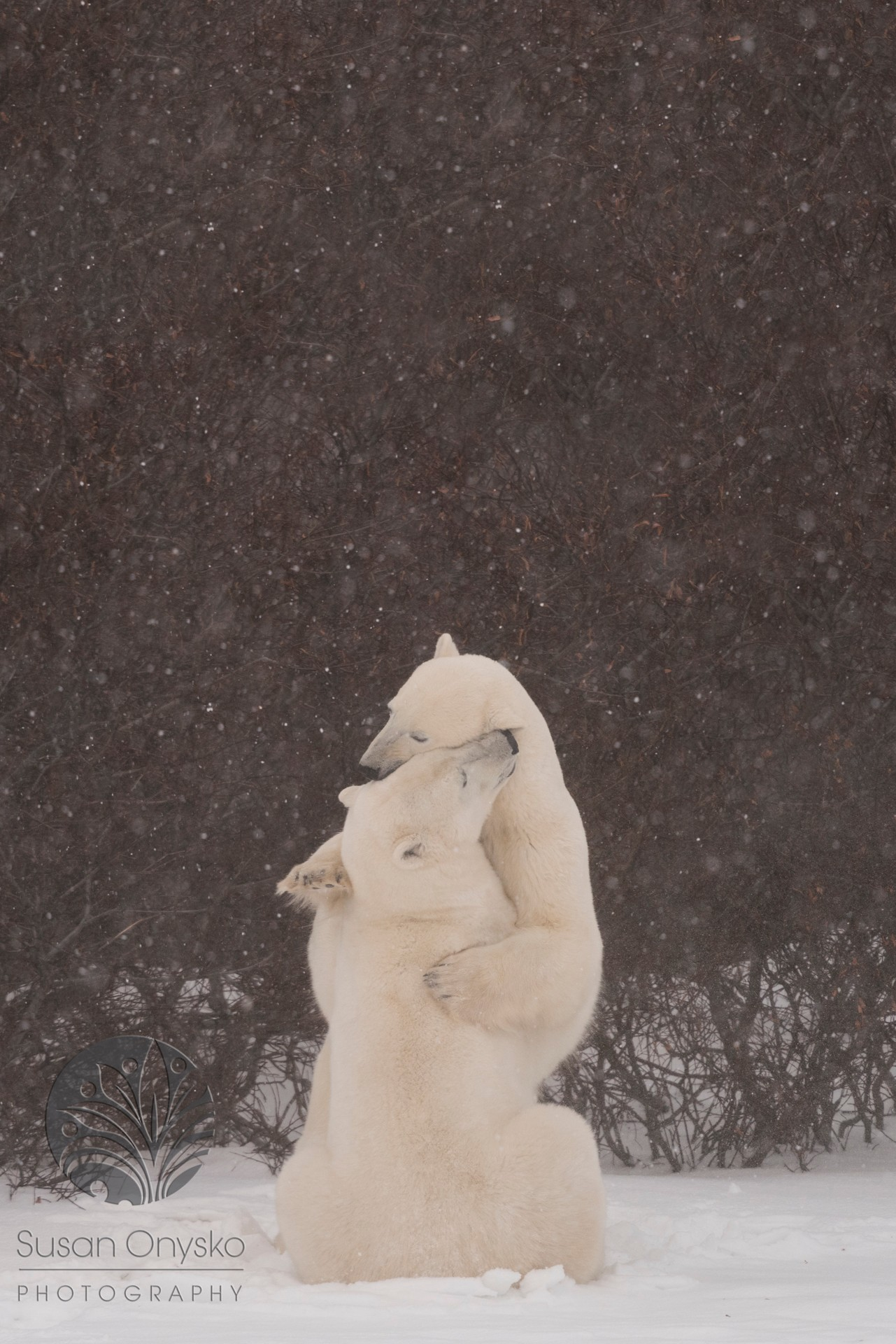 Polar Bears of Svalbard