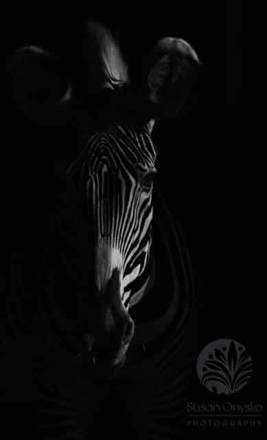 """""""Zebra 2"""", Spain 2015"""