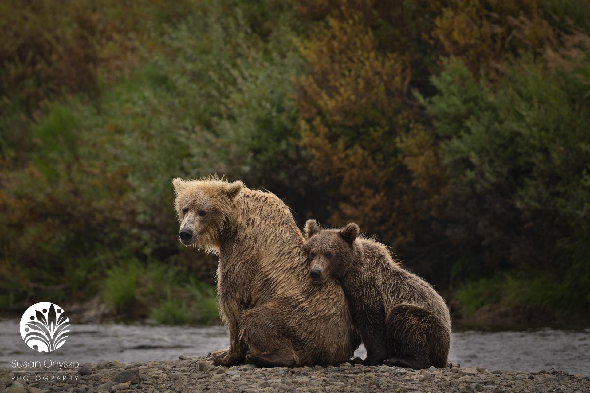 Brown Bear Safari